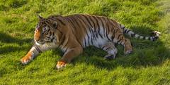 Tiger, Tiger (andymulhearn) Tags: xpro2 fuji noahsarkzoofarm somerset zoo xc50230mm