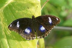 Great Eggfly male (Darea62) Tags: hypolimnasbolina eggfly butterfly nature insect animal wings wildlife leaf bluemoon