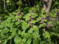 Lamium orvala (Safia girl) Tags: lamium lamiumorvala shade woodland
