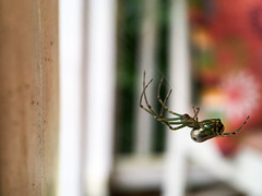 Front Porch Visitor (tisatruett) Tags: spider orchardspider porch frontporch macro arachnid color wildlife nature