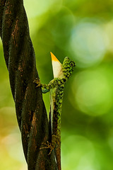 BOR_9797 (lucvanderbiest) Tags: flyinglizard vliegendedraakjeshagedis borneo maleisië sabah sepilok rainforestdiscoverycenter