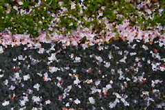 Cherry Petal Abstract (brucetopher) Tags: art abstract black grey pink green grass tar flower cherry cherrypetals crystalize crystal texture pattern charcoal