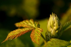 Macro Monday : Members choice into the woods (AngharadW) Tags: brown green texture bud dof goldenhour leaf bramble angharadw memberschoiceintothewoods macromonday