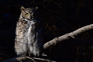 Dramatic Great-horned Owl - 5114b+