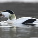 Common Eider (markstrachan1) Tags: