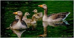 Pride And Joy I (lukiassaikul) Tags: wildlifephotography wildanimalswildbirds largebirds grealag goose geese goslings weststowcountrypark naturereserve suffolk uk