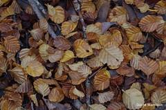 Nothofagus gunnii (Rotuli) Tags: nothofagusgunnii nothofagaceae fagus decidousbeech tanglefoot lakefenton mtfieldnationalpark tasmania endemic simply superb