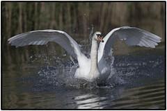 Mute Swan (CliveDodd) Tags: mute swan cygnus olor
