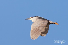 Black-crowned Night Heron (dcstep) Tags: englewood colorado unitedstates us n7a6153dxo bird cherrycreekstatepark allrightsreserved copyright2017davidcstephens dxoopticspro114 nature urban urbannature pixelpeeper heron blackcrownednightheron nightheron flight bif birdinflight flying wings ecoregistrationcase15586202651