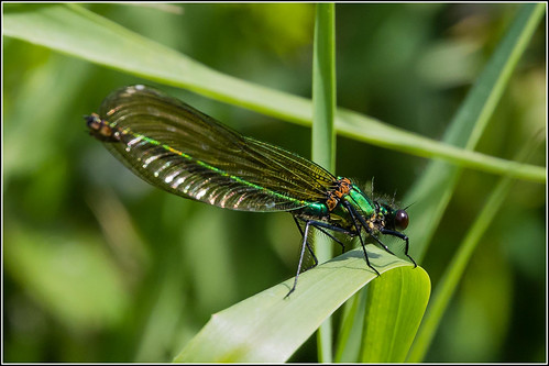 Beautiful Demoiselle ??