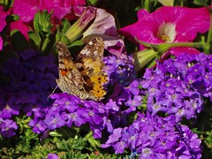 Painted Lady (Deepgreen2009) Tags: flowers summer insect butterfly paintedlady pollen garden wildlife
