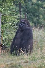 DSC00558 (sylviagreve) Tags: 2017 apenheul gorilla apeldoorn gelderland netherlands nl