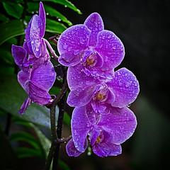 Orchid Brothers (MrBlueSky* (back soon)) Tags: orchid flower petal plant garden horticulture nature kewgardens royalbotanicgardens london aficionados pentax pentaxart pentaxlife pentaxk1 pentaxawards pentaxflickraward doublefantasy