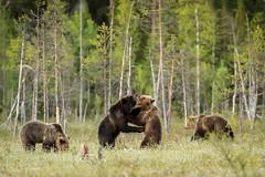 Love-games (Nedko Nedkov) Tags: wildlife finland europe martinselkonen baer mating