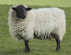 Sheep (grahambrown1965) Tags: ricohimagingcompanyltdpentaxk3ii smcpentaxda60250mmf4edifsdm pentax starlens 14converter 60250mm sussex eastsussex foredown foredownwalk sussexdowns downs countryside animal animals sheep ewe ewes fleece smcpda60250mmf4edif ricoh k3ii