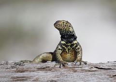 Lava Lizard - look at me (Emma Pollock - Photos) Tags: lizard lava galapagos ecuador reptile green canon 100400mm