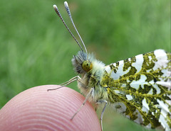 1st of the year, Orange tip meets finger tip (Peanut1371) Tags: orangetip orange insect butterfly butterflie finger nationalgeographicwildlife