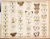 Hans D.J. Wallengren Lepidoptera 26 (Biological Museum, Lund University: Entomology) Tags: wallengren lepidoptera aporia tachyris pinacopteryx pieris pieridae