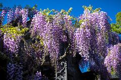 Wisteria (San Francisco Gal) Tags: filoli wisteria gate vine flower fleur bloom blossom spring ngc npc