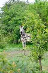 Burchell's Zebra (sillie_R) Tags: animal burchellszebra nationalpark zambezi zebra victoriafalls matabelelandnorthprovince zimbabwe