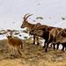 Iberian Wild Goats (Capra pyrenaica) at Guadarrama National Park (Madrid, Spain)