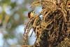 F.A.D. Pica-pau-verde-barrado fêmea (Colaptes melanochloros) (guarapirangasp) Tags: ave pássaro picapau colaptes melanochloros colaptesmelanochloros picapauverdebarrado