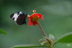 Libando la Flor (Jorge De Silva R) Tags: mariposa libar las guacamayas chiapasmexico