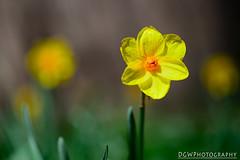 Flowery Bokeh (dgwphotography) Tags: daffodils bokeh 85mmf18g yaleuniversity nikond600 flowers flower