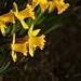 Daffodils+04