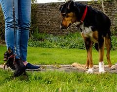 Still can't believe her eyes (allybeag) Tags: kiri chiuhuahua dog tinydog small little wee huntaway meeting garden bella