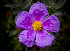 Cisto rosso (bormanus_sv) Tags: cistusincanus cistovilloso canon fiore flowers macchiamediterranea fioridiliguria