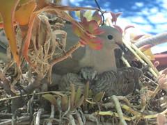 DOVES 2017 . (goldiesguy) Tags: goldiesguy birds doves zenaidamacroura outdoors nature animals