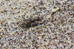 Tiger Beetle on Purple Sand (brucetopher) Tags: tigerbeetle tiger beetle cicindela beach beachtigerbeetle insect bug critter creature tiny beauty beautiful pattern elytra maculations shell camouflage fast tease frustrating elusive animal outdoor bronzed hairynecked