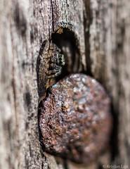 Hüpikämbliku kodu (BlizzardFoto) Tags: hüpikämblik jumpingspider salticidae spider ämblik nael nail auk hole kodu home