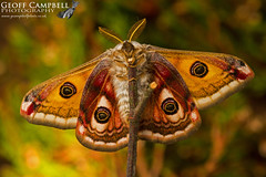 Emperor Moth (Saturnia pavonia) (gcampbellphoto) Tags: emperor moth saturnia pavonia insect invert nature wildlife north antrim ballycastle northern ireland gcampbellphoto macro animal