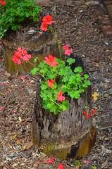 Flowers in the Stump (Neal D) Tags: nsw australia portmacquarie flower flowers stump