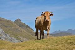 Le bonheur est dans l'estive (Mystycat =^..^=) Tags: france hautespyrénées pyrénées montagne mountain vache cow bovin midipyrénées 65 lacdesespécières estive pâturage ngc npc