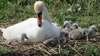 IMG_0624. Was Zaterdag blij verrast moeder zwaan met 6 jonge zwaantjes te zien. Pa zwaan was er ook , maar die laat ik een andere keer zien.