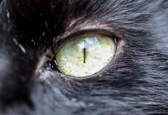 Cat's Eye (haberlea) Tags: garden hmm macromondays eye catseye cat macro nature pet animal black blackcat