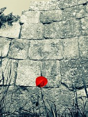 Gerasa (Jerash), Jordan (WorldExplorations) Tags: levant red wildflower stone wall ruins romanruins stonewall flower history historic ancientworld romanempire middleeast jordan jerash gerasa