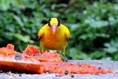 Angry (Khaled M. K. HEGAZY) Tags: nikon coolpix p520 malaysia kualalumpur birdpark bird blacknapedoriole nature outdoor closeup macro green yellow orange black feeding papaya fruit seed