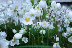 A Season of Delivery (Haytham M.) Tags: white spring nature joy optimism flower plant