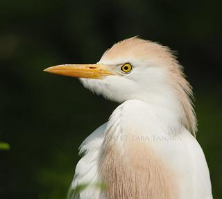 2017-05-11 P1044857 Cattle Egret - please view large [Explored]