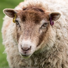 Portrait of ewe (kimbenson45) Tags: cotswoldfarmpark animal brown chocolate closeup differentialfocus ewe face farm green nature outdoors shallowdepthoffield sheep white