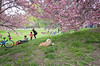 cherry blossoms, central park (Charley Lhasa) Tags: ricohgrii grii 137mm 21mm35mmequivalent iso400 ¹⁄₁₀₀₀secatf28 0ev aperturepriority pattern noflash r014604 dng uncropped taken170423155212 uploaded170424004634 3stars flagged adobelightroomcc201510 lightroomcc201510 adobelightroom lightroom charley charleylhasa lhasaapso dog cherryblossoms flowers blooms cherrytrees kwanzancherry kwanzan trail path centralpark nycparks manhattan newyorkcity nyc newyork ny day ricohgw3 gw3