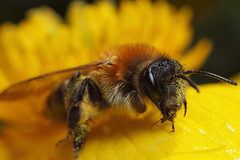 Miner bee on marsh marigold #1 (Lord V) Tags: macro bug insect bee minerbee