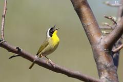 Common yellowthroat - Paruline masquée - Geothlypis trichas (Maxime Legare-Vezina) Tags: bird oiseau nature wildlife spring canon quebec canada