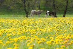 Yellow & green Spring (Jurek.P) Tags: blossoms blooming flowers meadow grass yellow green cows mniszeklekarski dandelion mazury masuria poland polska jurekp sonya77 mlecz