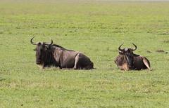 Blauwe gnoe - Common wildebeest (marcdeceuninck) Tags: ngorongoro tanzania safari nature natuurfotografie zoogdieren mammal blauwegnoe commonwildebeest