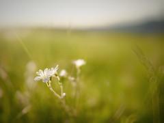 Subtle (Petr Horak) Tags: closeup blossom bloom f12 flora flower foliage grass grassland nature penf outdoor zábornálhota středočeskýkraj czechia cze